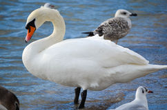 Swan. Amazing  elegant white swan and  seagulls at the sea Stock Images
