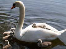 Swan And Cygnets Royalty Free Stock Images