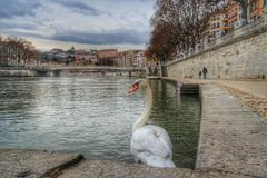The swan andbthe river saone of Lyon old town, Lyon old town, France. View of the district of vieux lyon in the promenades of the river saone Stock Photography