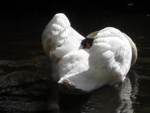 Swan anhydrous Kunskap av naturen Till och med ögonen av naturen arkivbilder