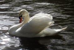 Swan anhydrous Kunskap av naturen Till och med ögonen av naturen royaltyfri foto