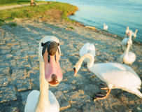 Swan in anticipation of feeding on the shore of the Rhine river. Stock Image