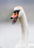 Swan Appearing to Laugh. An adult mute swan opens his beak, giving the appearance of laughter in this detailed animal portrait Stock Image