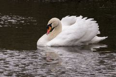 A swan approaching an icy patch on the Ornamental Pond. A swan swimming towards an icy patch on the Ornamental Pond on Southampton Common royalty free stock photo