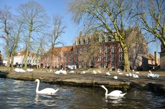 Swan area. In Brugge city Royalty Free Stock Photo