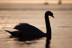 Swan as silhouette Stock Photography