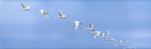 Swan Ascending Into The Sky Stock Photos