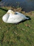 Swan asleep Stock Photography
