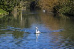 Free Swan At The Bishops Palace In Wells, Somerset Royalty Free Stock Photo - 178118175