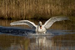 Swan attack Royalty Free Stock Photo