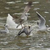 Swan Attack Stock Image