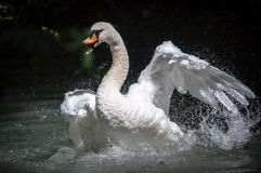 Swan attack. A swan in a pond on a dark background while attacking with wings open Stock Photos