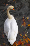 Swan in Autumn  Royalty Free Stock Image