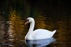 Swan in autumn colored water Royalty Free Stock Photos
