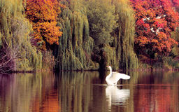 Swan on the autumn lake. Danciing swan on the autumn lake Stock Images