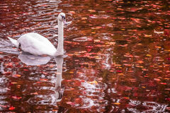 Swan on the autumn lake Stock Image