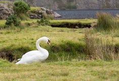 Swan av Wast Vatten i Lakeområde royaltyfria foton