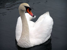 Swan of Avon. This is a photo of the Swan on the river Avon which was also the nickname for WS Stock Images