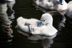 Swan Babies Stock Photography