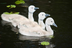 Swan babies. Three swan babies in the water stock image