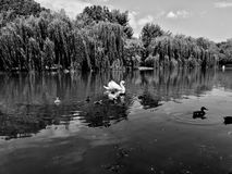 Swan with babies on the lake black and white Royalty Free Stock Photos