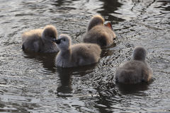 Swan babies Royalty Free Stock Image