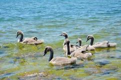 Swan babies Stock Photo