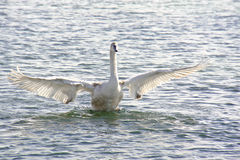 Free Swan Baby Stock Images - 26400774