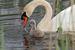 Swan with baby cygnet Royalty Free Stock Photo