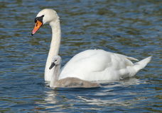 Swan and baby Royalty Free Stock Photos