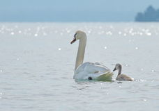 Swan and baby Stock Image