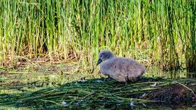 Swan baby. A swan baby on the nest Royalty Free Stock Photos