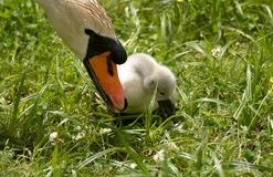 Swan and baby swan head to head explore the world Royalty Free Stock Images