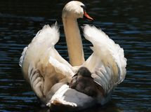 Swan, Baby Swan, White, White Swan Royalty Free Stock Images