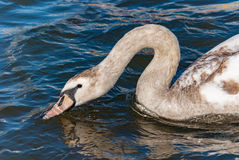 Swan baby young long neck curve Stock Image