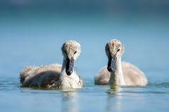 Swan babys in blue lake. Stock Photos