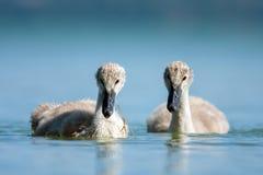 Swan babys in blue lake. Cygnet - swan babys in blue lake Stock Photos