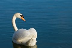 Swan of back. Swan in search of preys Royalty Free Stock Photos