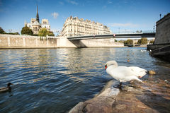 Swan on the background of the Notre dame de Paris Royalty Free Stock Photo