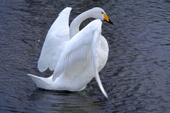 Swan ballet. A swan with open wings on a lake in a very gracious position Royalty Free Stock Photos