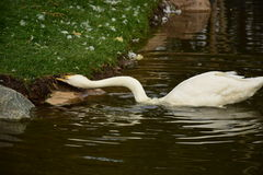 Swan at the bank taking food Stock Images