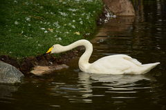 Swan at the bank taking food Stock Photography
