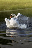 Swan bathing in glistening water Stock Photo