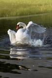 Swan bathing in glistening water Stock Photo