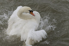 Swan bathing in a river Royalty Free Stock Image