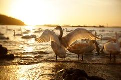 Free Swan Bay Royalty Free Stock Photography - 37451567