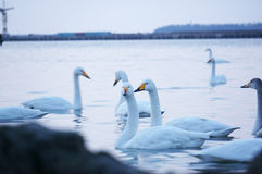 Swan Bay Stock Image
