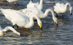 Free Swan Bay Royalty Free Stock Image - 37472316