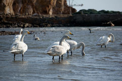 Free Swan Bay Royalty Free Stock Photo - 37472555