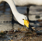 Swan Bay Stock Photography